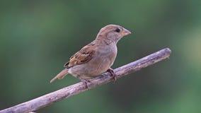 Il passero si siede su un ramo asciutto e pulisce il becco