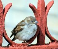 Il passero si siede sulla rete fissa rossa immagine stock libera da diritti