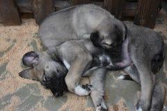 Il pastore anatolico Dog Turkey del cane di Sivas Kangal Fotografia Stock Libera da Diritti