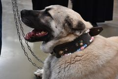 Il pastore anatolico Dog Turkey del cane di Sivas Kangal Fotografia Stock