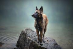 Il pastore belga sta stando in acqua Cane in un paesaggio della montagna con l'umore nebbioso Facendo un'escursione con uomo il m fotografie stock libere da diritti