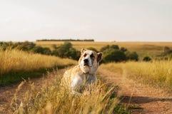 Il pastore centroasiatico della razza del cane che si trova su una terra Fotografia Stock Libera da Diritti
