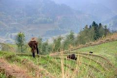 Il pastore in cinese il gregge del cappello del cinese tradizionale pasce sui terrazzi del riso Fotografia Stock Libera da Diritti