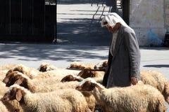 Il pastore conduce una moltitudine di pecore che pascono appena come nei periodi biblici a Betlemme fotografia stock libera da diritti