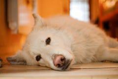Il pastore svizzero si trova sul pavimento Il cane pastore di sonno Immagini Stock