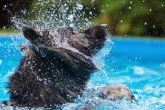 Il pastore tedesco anziano scuote la testa in una piscina Fotografie Stock Libere da Diritti