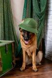 Il pastore tedesco divertente ha trovato il tesoro fotografia stock libera da diritti
