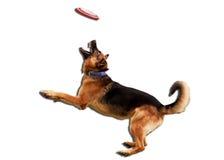 Il pastore tedesco prende il frisbee Immagini Stock