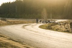 Il pastore va lungo la strada con il gregge fotografie stock
