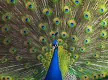 Il pavone Fotografia Stock Libera da Diritti