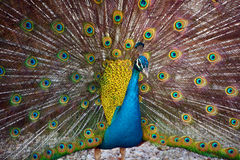 Il pavone Fotografia Stock