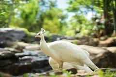 Il pavone bianco nella caduta dell'acqua della roccia Immagine Stock