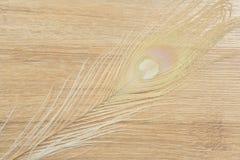 Il pavone dell'albino mette le piume al fondo Fotografia Stock