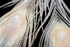 Il pavone dell'albino mette le piume al fondo Fotografia Stock Libera da Diritti