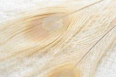 Il pavone dell'albino mette le piume al fondo Immagini Stock