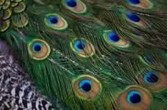 Il pavone di Museo Dolores Olmedo mette le piume al DF Messico City immagini stock