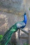 Il pavone fiero e maestoso immagini stock