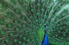 Il pavone ha allontanato la sua bella coda immagine stock
