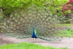 Il pavone maschio con le piume di coda ha visualizzato fotografia stock