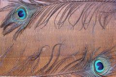 Il pavone mette le piume al fondo Immagini Stock Libere da Diritti