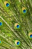 Il pavone mette le piume al primo piano immagine stock