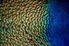 Il pavone mette le piume al primo piano Fotografia Stock