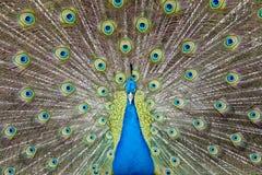 Il pavone mette le piume a fuori Immagine Stock