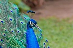 Il pavone mette le piume a fuori Fotografie Stock