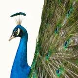 Il pavone mette le piume a fuori Fotografia Stock