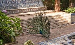 Il pavone nel Jardim Marechal Carmona fa il giardinaggio in Cascais Portogallo Fotografie Stock Libere da Diritti