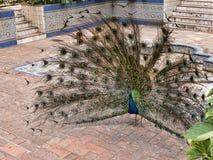 Il pavone nel Jardim Marechal Carmona fa il giardinaggio in Cascais Portogallo Immagine Stock Libera da Diritti
