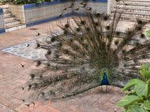 Il pavone nel Jardim Marechal Carmona fa il giardinaggio in Cascais Portogallo Fotografia Stock Libera da Diritti