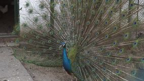 Il pavone splendido mostra le sue piume variopinte video d archivio
