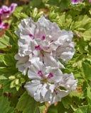 Il pelargonium bianco e rosa fiorisce nel giardino immagini stock libere da diritti