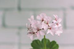 Il pelargonium fiorisce il primo piano Pelargonium o pelargonium zonale di Horseshue Fotografie Stock Libere da Diritti