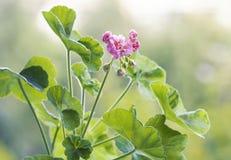 Il pelargonium fiorisce il primo piano Pelargonium o pelargonium zonale di Horseshue Fotografia Stock