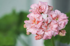 Il pelargonium fiorisce il primo piano Pelargonium o pelargonium zonale di Horseshue Immagini Stock Libere da Diritti