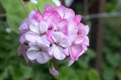 Il pelargonium zonale in fioritura, leggera impallidisce i fiori bianchi rosa fotografia stock libera da diritti