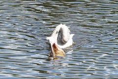 Il pellicano Fotografie Stock