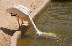 Il pellicano raccoglie l'acqua fotografie stock libere da diritti