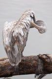 Il pellicano si leva in piedi su un albero-circuito di collegamento fotografie stock libere da diritti