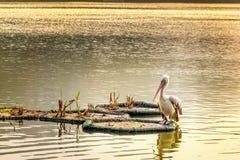 Il pellicano si siede sull'acqua nei raggi del tramonto Fotografia Stock