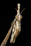 Il pennata di Empusa del mantide, macro in un prato Fotografia Stock Libera da Diritti