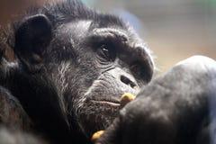 Il pensatore: Scimpanzè Fotografie Stock