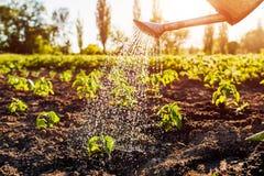 Il pepe d'innaffiatura germoglia da un annaffiatoio al tramonto in campagna Agricoltura e concetto di azienda agricola Fotografie Stock Libere da Diritti