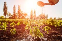 Il pepe d'innaffiatura germoglia da un annaffiatoio al tramonto in campagna Agricoltura e concetto di azienda agricola Fotografia Stock