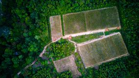Il pepe nero pianta gli alberi avvolti Phu Quoc, Vietnam fotografie stock
