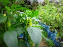 Il peperoncino rosso pianta la coltivazione Immagine Stock Libera da Diritti