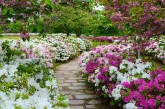 Il percorso di camminata di pietra pacifico in un giardino dell'azalea della molla fiorisce e dei fiori della prugna fotografia stock