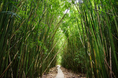 Il percorso di legno attraverso la foresta di bambù densa, conducente a Waimoku famoso cade Traccia popolare di Pipiwai nel parco Fotografia Stock